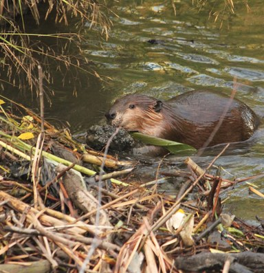 In Oregon, a peculiar case for protecting the beaver
