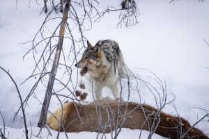 What we have forgotten about the vilified gray wolf