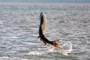 Latest: Salmon get a boost over Columbia River dams