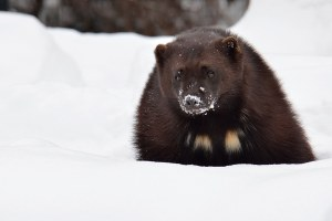 Latest: Wolverines found in unexpected corners