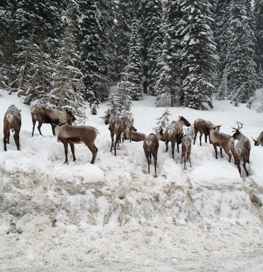 Selkirk caribou are quietly going extinct