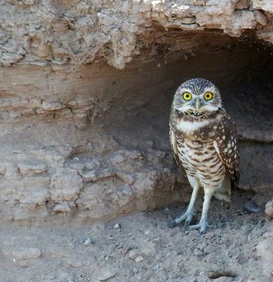 Water savings may cause suffering for burrowing owls
