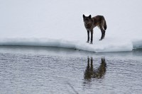 The howl and death of Yellowstone wolf 926F