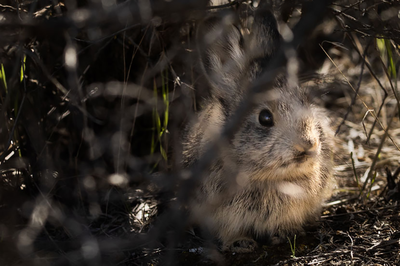 After nearly going extinct, Washington's pygmy rabbits need room to grow