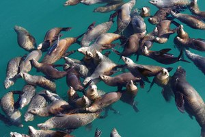 West Coast fishermen have few options against sea lions