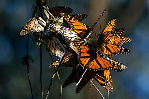 The West's monarch migration is disappearing