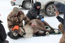 The last woodland caribou has left the Lower 48