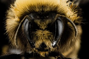 Commercial honeybees threaten to displace Utah's native bees