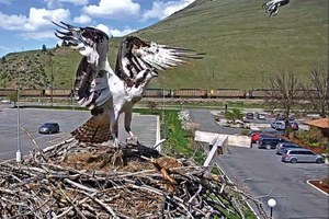 Osprey love triangle; an urban avalanche; Arizona's 'crisis'