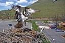 Osprey love triangle; an urban avalanche; Arizona's 'crisis'