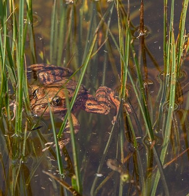 Red-legged frogs successfully reintroduced to Yosemite