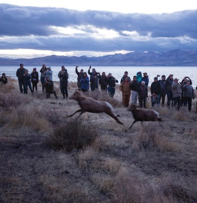 The Pyramid Lake Paiute Tribe reintroduces bighorn sheep on tribal lands
