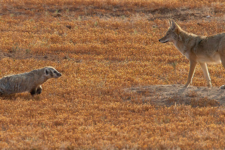 A viral coyote-badger video demonstrates the incredible complexity of nature
