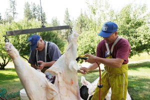 Will COVID-19 help save small slaughterhouses?