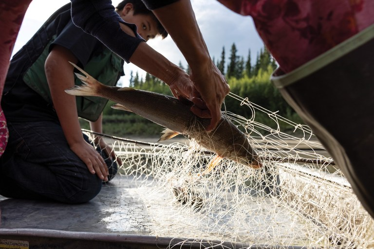 Alaska Native villages band together to keep the Yukon River's wild salmon afloat