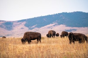 Reclaiming the National Bison Range