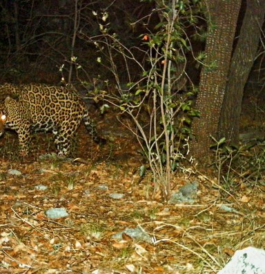 New Mexico judge revokes protected lands for jaguars