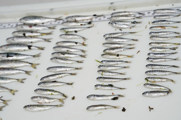 Ongoing fish kill on the Klamath River is an 'absolute worst-case scenario'