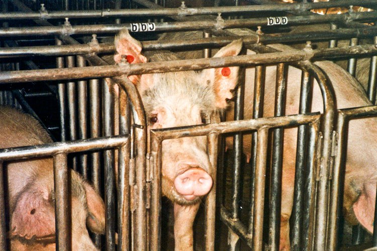Pigs in gestation crates.