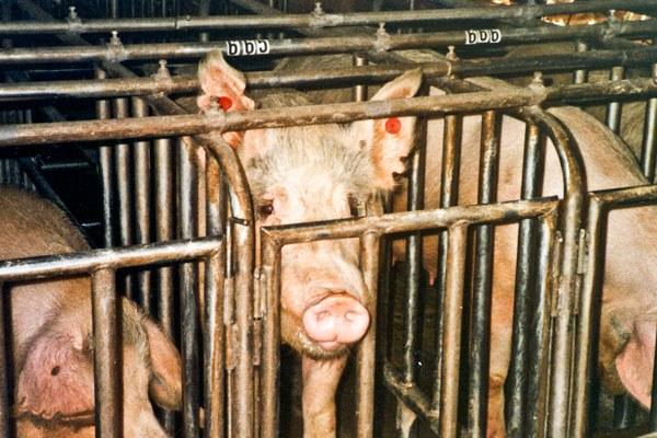 animal cruelty on factory farms