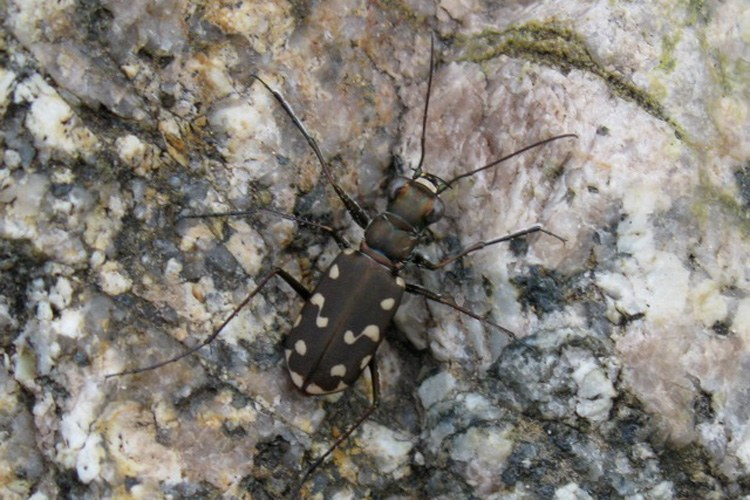 Tiger beetle, Box Canyon, Santa Rita Mountains, Arizona