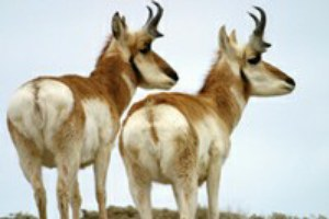 Antelope hunting keeps getting better