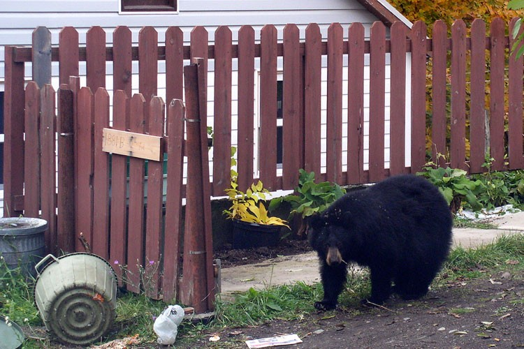 A black bear outside a fenced home